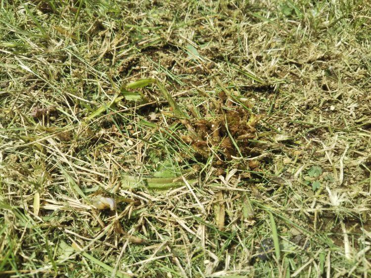 太い草の刈り残し